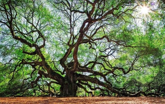 South Carolina Lowcountry Angel Oak Tree Charleston SC Nature Scenic